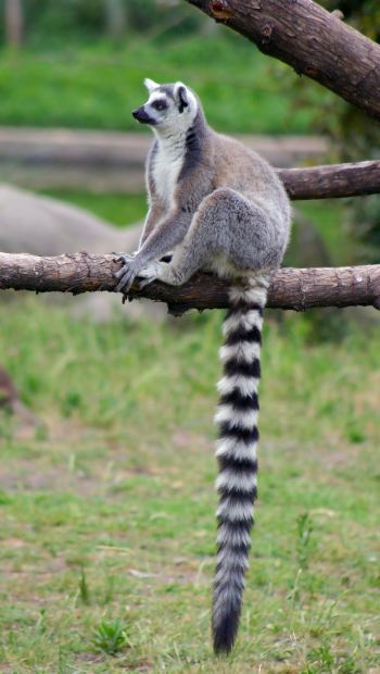Lemur-ring-tailed-long-tail-marketing