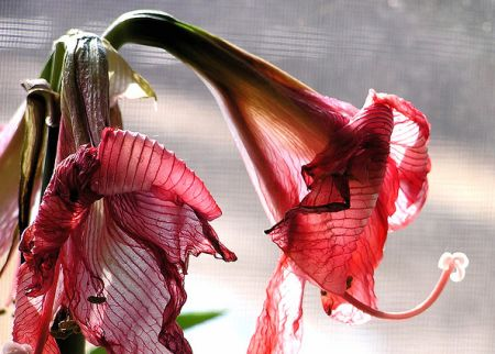 wilted-flower